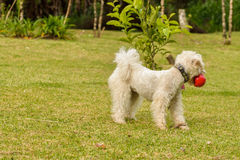 Red Ball. Dog with a red ball Royalty Free Stock Photography