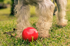 Red Ball. Dog with a red ball Stock Photo