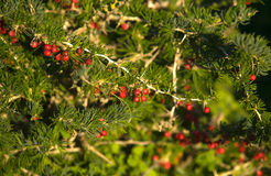 Red bals bush Stock Image