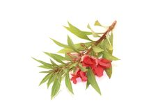 Red Balsam Royalty Free Stock Photos