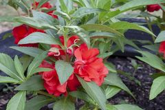 Red Balsam or Impatiens balsamina blooming. stock photography