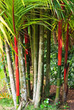 Red Bamboo, Kauai Royalty Free Stock Images