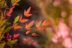 Red bamboo leaves Royalty Free Stock Photo