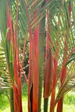 Red Bamboo. The tall stalks of a Red Bamboo plant stand out against the green leaves and foliage Royalty Free Stock Photography