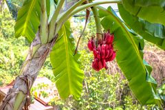 Red banana bunch Stock Images