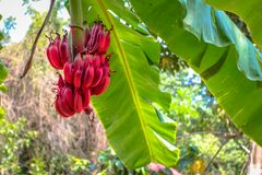 Red banana bunch Royalty Free Stock Image