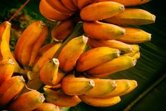 Red banana ,Musa banana. Musa paradisiaca Stock Photos
