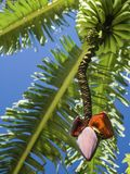 Banana tree blossom with fruits. Red banana tree blossom below the green fruits against the background of banana leaves torn by the wind Royalty Free Stock Photography