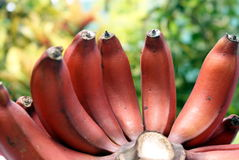 Red bananas. A very rare red banana found in kuching sarawak, North Borneo Royalty Free Stock Image