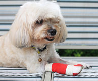 Red bandage on injured leg of Shih Tzu royalty free stock photography