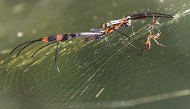 Red Banded Golden Orb Spider Royalty Free Stock Image