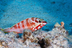 Red banded grouper Stock Photography