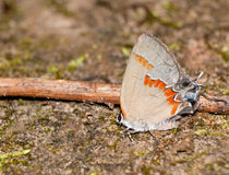 Red-banded Hairstreak butterfly Stock Image