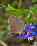 Red-Banded Hairstreak butterfly on purple wildflowers. royalty free stock photography