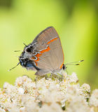 Red-banded Hairstreak Stock Image