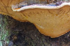 Red Banded Polypore Stock Photography