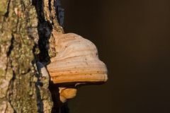 Red Banded Polypore Royalty Free Stock Photography