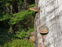 Free Red Banded Polypore, Fomitopsis Pinicola Stock Photos - 23992563
