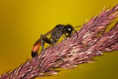 Red-banded Sand Wasp stock photography
