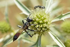 Red-banded sand wasp on thistle Royalty Free Stock Image