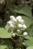 Red Baneberry in White Phase Royalty Free Stock Photos