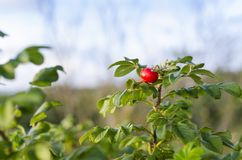 Red rosehip on bush Royalty Free Stock Images
