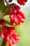 Red barberry berries Royalty Free Stock Images