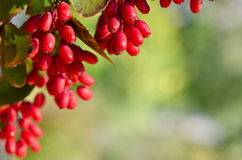 Red barberry berries Stock Images