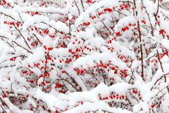 Red barberry berries under the snow during a snowfall Stock Images