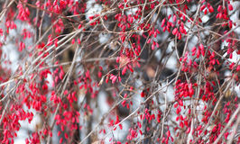 Red barberry branch stock images