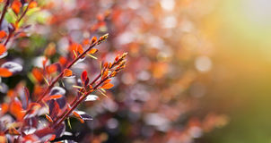 Red barberry bud Stock Photography