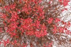 Red barberry bush berberis tunbergii. stock images