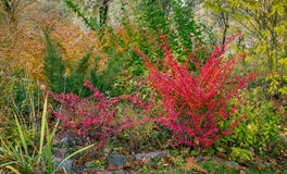 Red barberry bush Royalty Free Stock Images