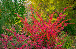Red barberry bush Royalty Free Stock Photo