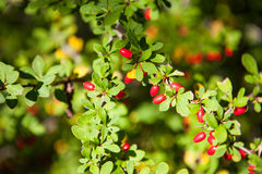 Red Barberry fruits Stock Photography