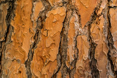 Red bark. Ginger and brown colored bark texture Royalty Free Stock Photography