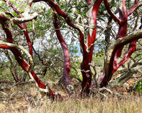 Red bark of Manzanita tree. Twisted, smooth red barkless branches of a Manzanita tree, along a trail above city of Napa in California. Arctostaphylos glandulosa stock images