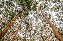 Red Bark Tall Trees Stock Image