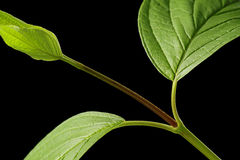 Red-Barked Dogwood (excerpt) Royalty Free Stock Images