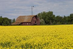 Red Barn. In a canola field Stock Image