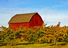 Red Barn, Apple Trees, Michigan. A red barn on a farm field in Michigan provides a backdrop for apple trees with leaves changing color during the fall harvest of Stock Image