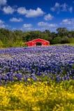 Red Barn in the Bluebonnet Field Stock Photo