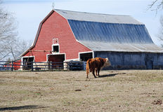 Red Barn with Bull in foreground Royalty Free Stock Photos