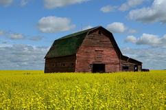 Red Barn In Canola Field royalty free stock image