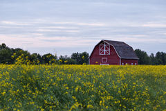 A red barn in a canola field. A red barn with white trim in a yellow flowering canola field with trees in the background Royalty Free Stock Image