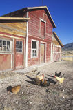 Red barn with chickens in yard, NV Royalty Free Stock Images