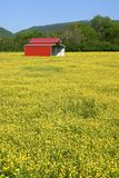 Red Barn in Field of Buttercups Royalty Free Stock Photos