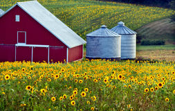 Red barn in a field of sunflowers. Red barn and two silos surrounded by fields of sunflowers Royalty Free Stock Photos