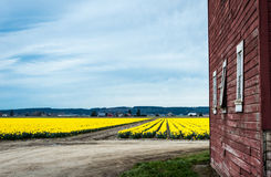 Red barn, field of yellow daffodils and a blue sky. Stock Photos