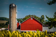 Red barn near tobacco field in Lancaster County PA. Tobacco crop groing in a farm field in Lancaster County, Pennsylvania, is neary ready for harvest stock photo